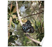 The Blue Tiger Butterfly Poster