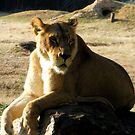 lioness by angelc1