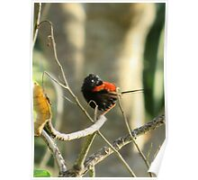 Red-backed Fairy-Wren Poster
