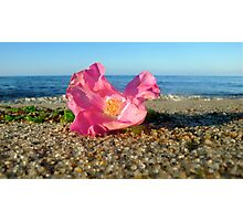 Cape Cod Rose Hip Blossom on the Beach (Peaked Hill Bars, Provincetown) Photographic Print