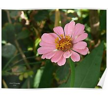 Cotton Candie Pink  Poster