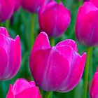 Purple Tulips by Greg Coggiola