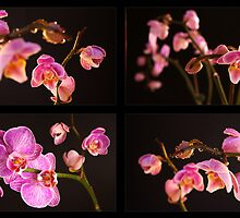 Orchid by Sandra Kemppainen