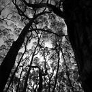 Scary Trees- Lobethal Bushland Park South by Ben Loveday