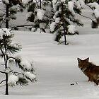 Coyote Curiousity by Dawne Olson