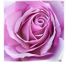 Violet Rose Flower Bloom Poster