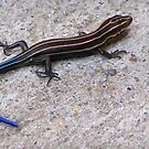 Blue Tailed Skink by Carole Andreas