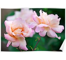 Pink/Apricot Rose Flower Blooms Poster