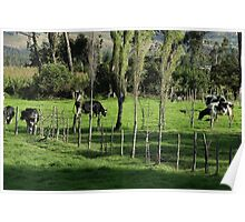 Herd of Holstein Cows Poster