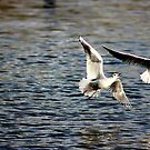 gulls at play 2 by photogenic