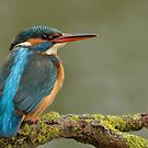 Kingfisher - II (Alcedo atthis)  by Peter Wiggerman