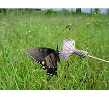 Eastern Tiger Swallowtail on Thistle Photographic Print