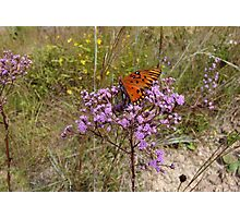 Gulf Fritillary in Ironweed Photographic Print