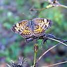 Pearl Crescent by May Lattanzio