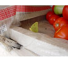 The Tomato Vendor - Common Sulphur Butterfly Photographic Print