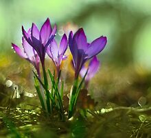 Morning impression with crocuses by JBlaminsky
