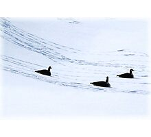 Three Geese a Playing Photographic Print