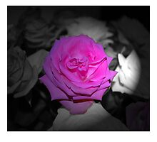 Pink Flower Black & White Background Photographic Print