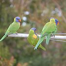 Lorikeets clowning around  by lettie1957