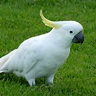 Aussie Sulphur Crested Cockatoo by Magee