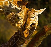Giraffe Embrace by NatureNut