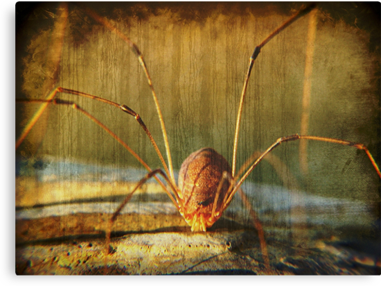 Daddy Long Legs by Glenna Walker