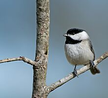 Carolina Chickadee on a Winter's Day  by Bonnie T.  Barry