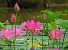 On Lotus Pond by NatureGreeting Cards ©ccwri