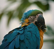 Blue Throated Macaw Parrot by Franco De Luca Calce