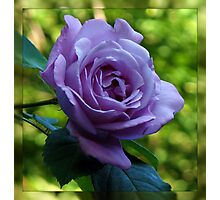 Blue Moon Rose in Mirrored Frame Photographic Print