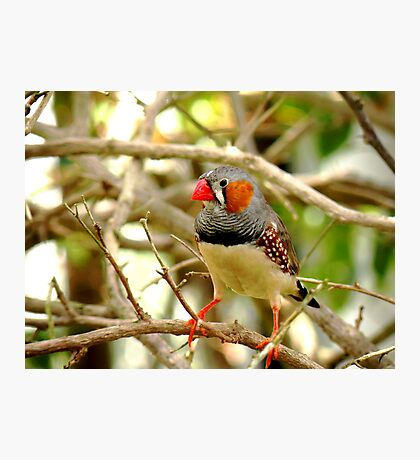 Colorful Finch Photographic Print