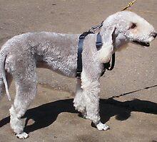 Bedlington Terrier by Vic Cross