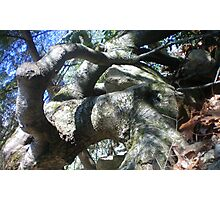 Another Knotty Tree @ Sago Photographic Print