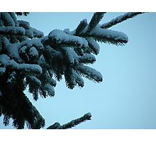 Snow clad fir  bough Photographic Print