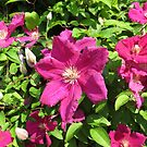 Sunkissed Clematis Blossoms by BlueMoonRose