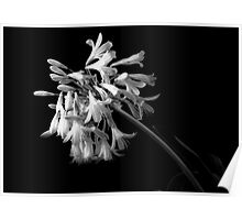 Emerging Agapanthus in Black and White Poster