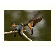 Swallows Feeding Art Print