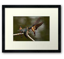 Swallows Feeding Framed Print
