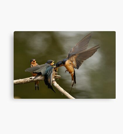 Swallows Feeding Metal Print