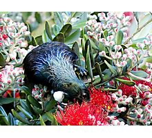 Delights From Nature - Tūī - Pohutukawa Tree - NZ Photographic Print