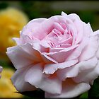 Love & Gratitude - Pink Rose - NZ by AndreaEL