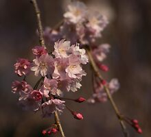 Weeping Cherry Blossoms by Gilda Axelrod