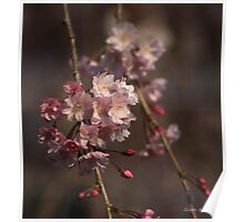 Weeping Cherry Blossoms Poster