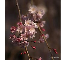 Weeping Cherry Blossoms Photographic Print