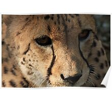 Cheetah in Portrait Poster