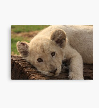 White Lion cub Canvas Print