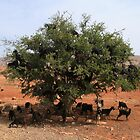 Goats in Trees by CCManders