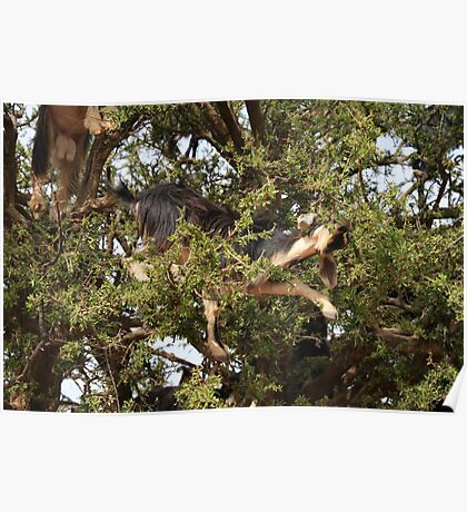 Goats in Trees Poster