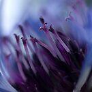 Wild Cornflower by Jenni77