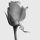 Rose by Kathie Nichols